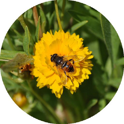 fleur-jaune-insecte